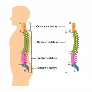 Vertebral spine anatomy