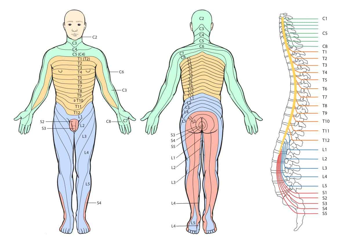 What are dermatomes brace access dermatome charts pooptronica