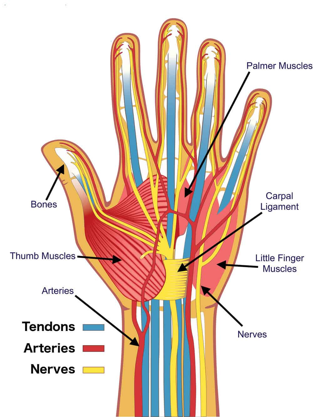Hand anatomy tendon