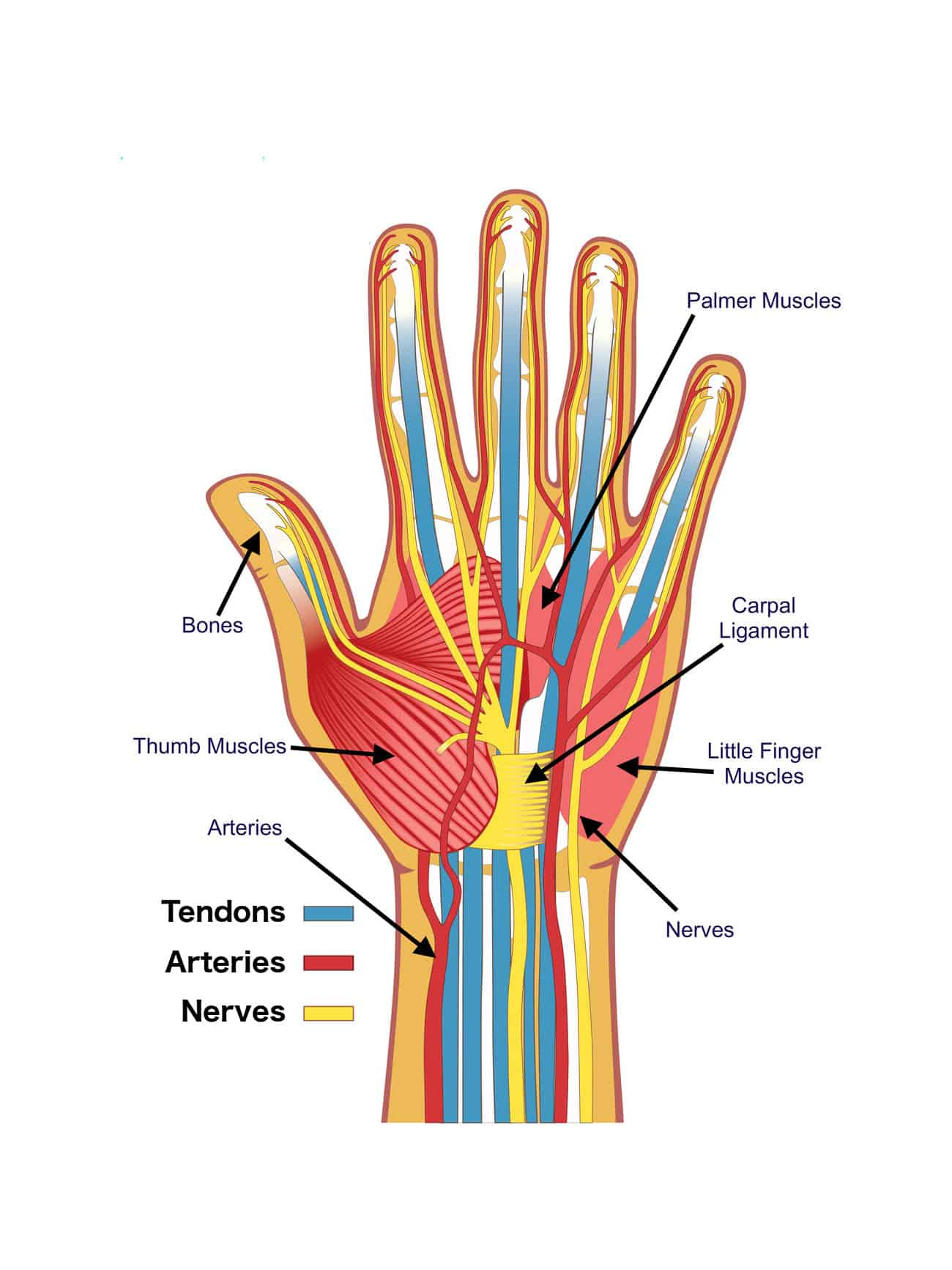 Anatomy Of The Hand Brace Access