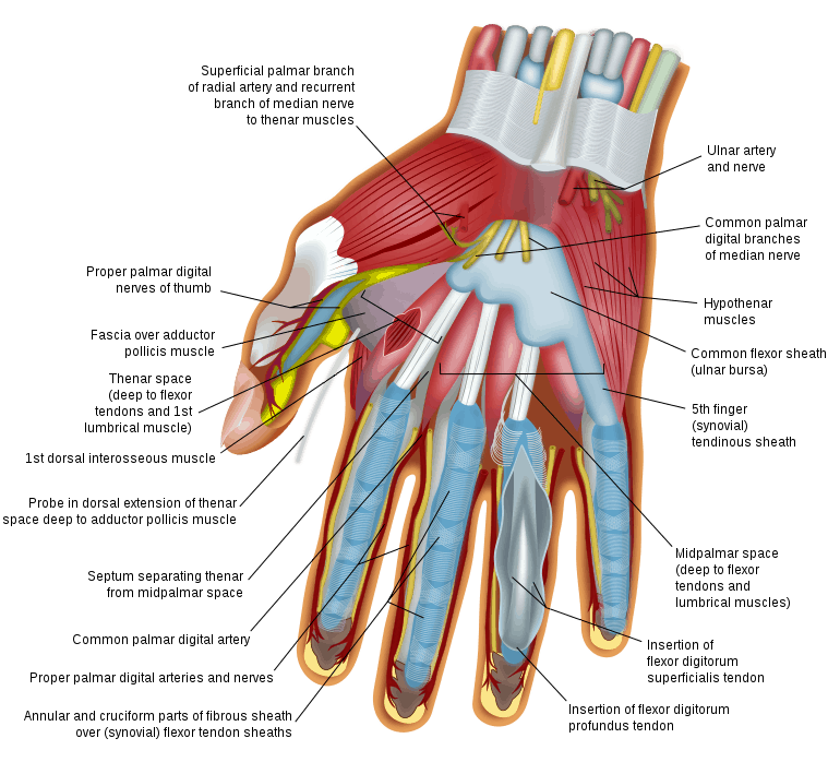Anatomy Of The Hand Brace Access