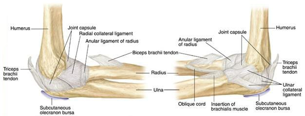 Anatomy Of The Elbow Joint Brace Access