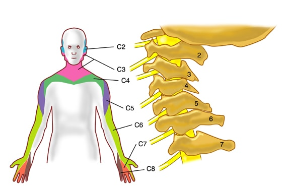 myotomes nerve roots