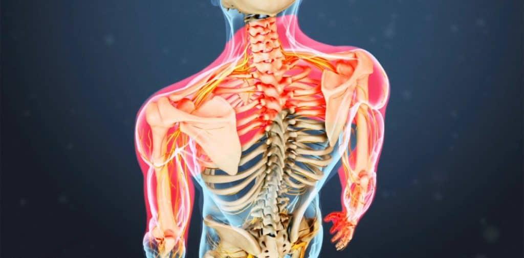 human anatomy myotomes